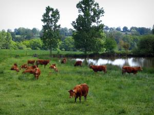 Limousin landscapes - Limousines cows in a prairie on the edge of a pond and trees, in Basse-Marche
