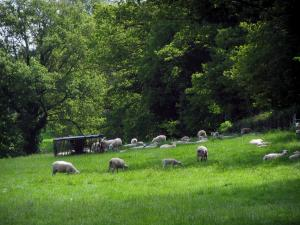 Limousin landscapes - Sheeps in a prairie and trees, in Basse-Marche