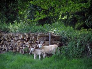 Limousin landscapes - Ewe and its lamb, cut wood and vegetation