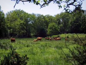 Limousin landscapes - Limousines cows in a prairie, shrubs and trees