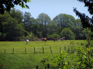 Limousin landscapes - Branches in foreground, cows in a prairie and trees