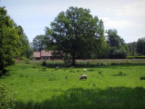 Limousin landscapes - Sheeps in a prairie, a house and trees