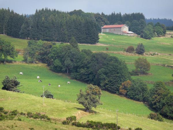 Livradois-Forez Regional Nature Park - Forez mountains: grassland dotted with trees, herd of cows, stone farmhouse and forest overhanging the set