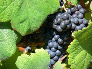Madiran vineyards - Bunch of black grapes and vine leaves