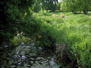 Manse valley - River with water lilies, four cows in a prairie and trees, in the Loire-Anjou-Touraine Regional Nature Park