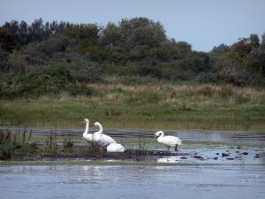 Marquenterre ornithological park - Nature reserve of the Bay of Somme: swans, marsh and vegetation