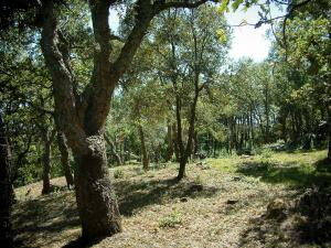Massif des Maures mountains - Trees and vegetation of a forest