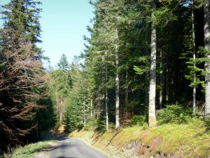 Mazan forest - Road through the coniferous forest
