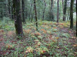 Mervent-Vouvant forest - Undergrowth and trees of the forest