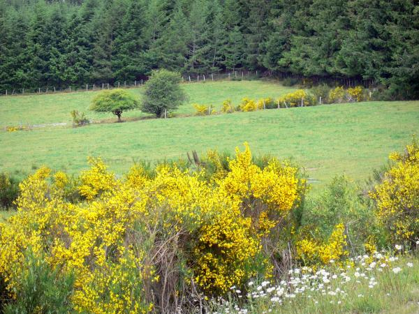 Millevaches in Limousin Regional Nature Park - Flowering broom, pastures and forests of Millevaches