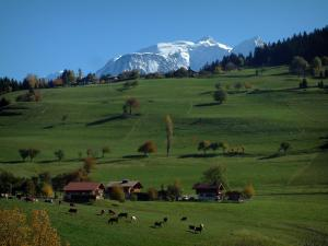 Mont-Blanc - Alpine pastures (high meadow) with cows, trees in autumn and the Mont Blanc mountain range