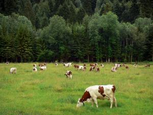 Montbéliarde cow - Montbéliarde cows in a prairie, forest in background
