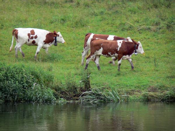 Montbéliarde cow - Montbéliardes cows on the edge of a river