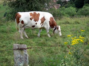 Montbéliarde cow - Cow with a bell grazing in a meadow, wild flowers in foreground