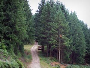 Morvan - Morvan Regional Nature Park: forest road lined with trees