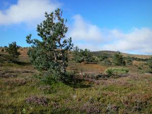 Mount Lozère - Cévennes National Park: heather moorland