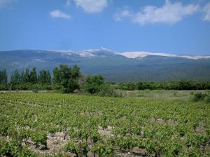 Mount Ventoux - Vineyards, trees and mount Ventoux (limestone mountain)