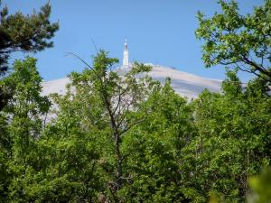 Mount Ventoux - Trees and peak of the mount Ventoux (limestone mountain)