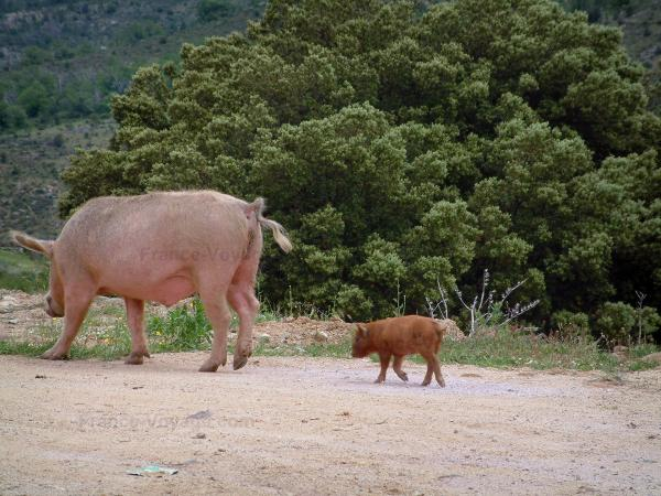 Mountain fauna - Wild pig (in semi-freedom) and its piglet on a road