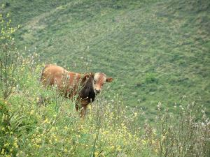 Mountain fauna - Wild flowers and veal