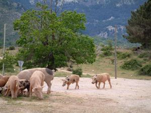 Mountain fauna - Wild pigs (in semi-freedom) on a road