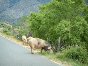 Mountain fauna - Wild pigs (in semi-freedom) on the border of a mountain road