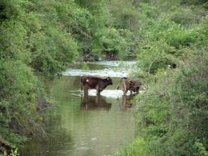 Mountain fauna - River lined with bushes and cows