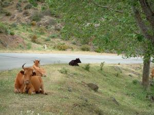 Mountain fauna - Cows on the border of a mountain road