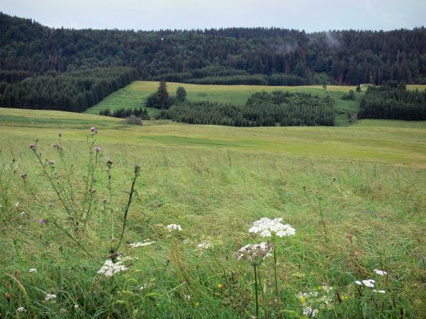 Mouthe valley - Wild flowers and high vegetation in foreground, prairies, spruces (trees) and forest; in the Upper Jura Regional Nature Park