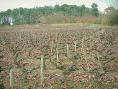 Nantes vineyards