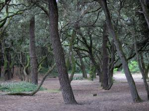 Noirmoutier island - Chaise wood: trees