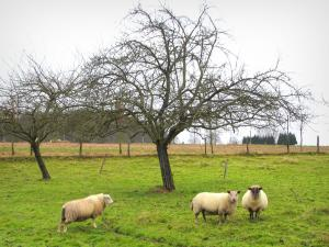 Norman Seine River Meanders Regional Nature Park - Sheeps in a prairie and trees