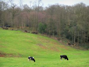 Norman Seine River Meanders Regional Nature Park - Normandy cows in a prairie and trees of a forest