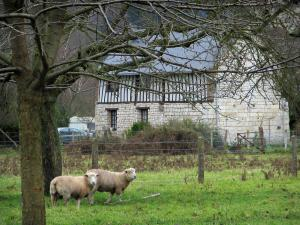 Norman Seine River Meanders Regional Nature Park - Sheeps in a prairie, trees and a house