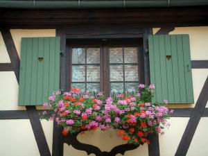 Obernai - Window decorated with geranium flowers (geraniums) and a half-timbered house