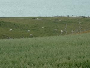 Opal Coast landscapes - Field overhanging a pasture with cows and sea (Regional Nature Park of Opal Capes and Marshes)