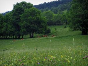 Oueil valley - Wild flowers and flora in foreground, cows in a prairie and trees, in the Pyrenees