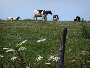 Perche Regional Nature Park - Cows in a blooming meadow