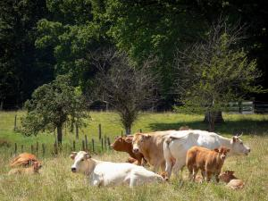 Perche Regional Nature Park - Cows in a meadow