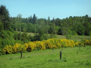 Périgord-Limousin Regional Nature Park - Meadow, blooming brooms, shrubs and forest (trees)