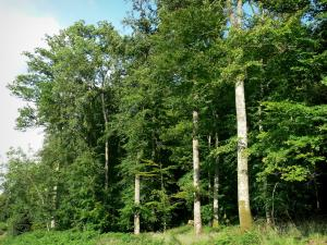 Perseigne forest - Trees of the forest; in the Normandie-Maine Regional Nature Park