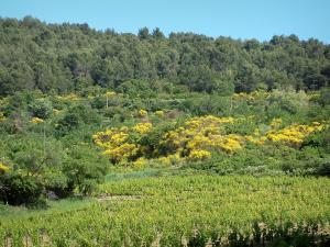 Provence landscapes - Vineyards, vegetation and trees