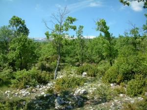 Provence landscapes - Trees of a forest with the mount Ventoux in background