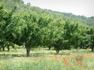 Provence landscapes - Wild flowers (poppies), cherry trees and other trees