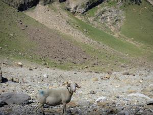 Pyrenees National Park - Sheep in the Gavarnie cirque