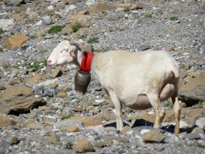 Pyrenees National Park - Ram (sheep) with a bell