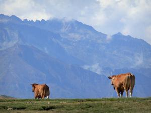 Pyrenees National Park - Two cows walking, mountains and mist in the background