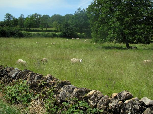 Quercy  limestone plateaux Regional Nature Park - Dry stones low wall, sheeps in a meadow (prairie) and trees