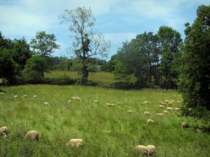 Quercy  limestone plateaux Regional Nature Park - Sheeps in a meadow (prairie) and trees