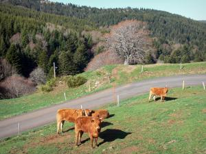 Regional Natural Park of the Ardèche Mountains - Cows in a meadow on the roadside near a forest